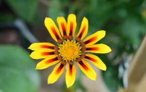 a yellow flower with streaks of red in the middle of each peddle