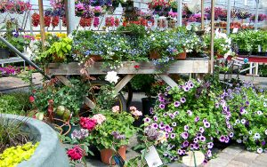 Rows of flowers and plants to purchase from Tree Top Nursery