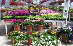 Rows of flowers and plants to purchase from Tree Top Nursery in Minnesota
