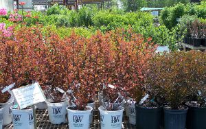 Rows of trees and plants to purchase from Tree Top Nursery in Sauk Centre, MN