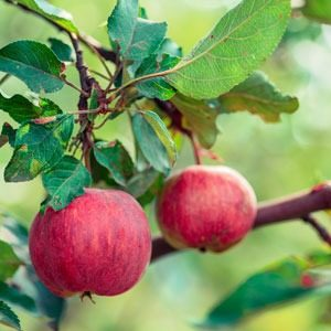 two apples hanging from an apple tree