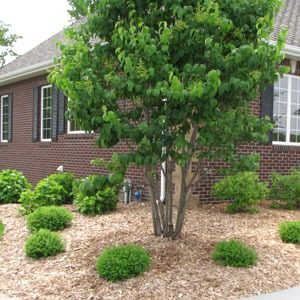 Large tree outside of a house surrounded by small shrubs